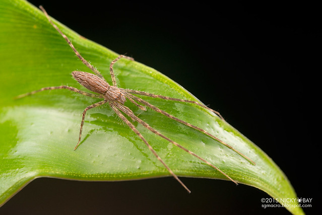 Fishing spider (Hygropoda sp.) - DSC_2816