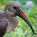 Ibis hadada by cazador2013