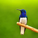 White-necked Jacobin (Daniel Uribe)