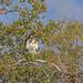 Grey Hawk, Tehuantepec, Oaxaca, Mexico por Terathopius