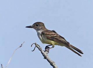 Stolid Flycatcher (Myiarchus stolidus) (Myiarchus stolidus stolidus)