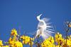 Série com a Garça-branca-grande, no topo do Ipê-Amarelo - Series with the Great Egret (Casmerodius albus, sin. Ardea alba) at the top of the Trumpet tree, Golden Trumpet Tree (Tabebuia [chrysotricha or ochracea]) - 02-09-2015 - IMG_8620