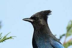 Cyanocitta stelleri (Steller's Jay) - Everett WA