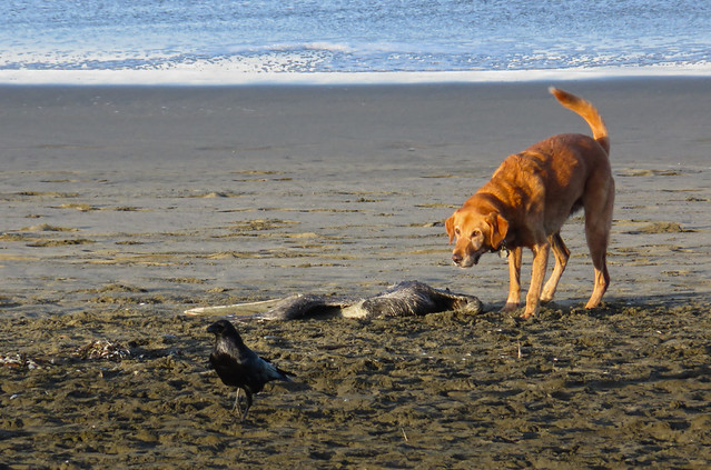 dog, crow, dead pelican; Ocean Beach, San Francisco (2014)