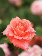 Rose, Avenir, バラ, アヴニール,
