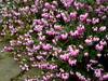 Dopheide, sneeuwheide, winterheide - Erica carnea I