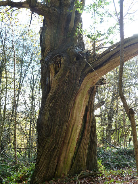 Twisted Sweet Chestnut (Milford to Godalming)
