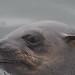 (Explore) Seal closeup @ Walvis Bay (Namibia) by PaulHoo