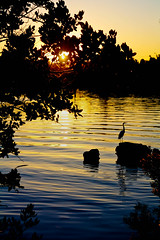 Egret on the Lagoon at Sunset