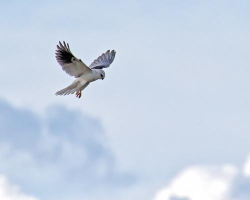 Hercules White Tailed Kite