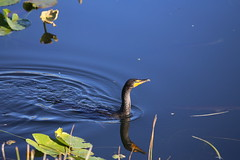 DOUBLE-CRESTED CORMORANT #4
