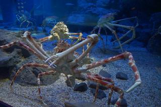 114 Osaka aquarium - Japanse reuzenkrab
