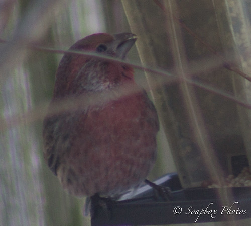 """Male House Finch"""