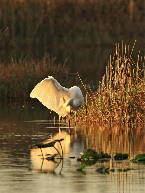 Great Egret preening 20150105