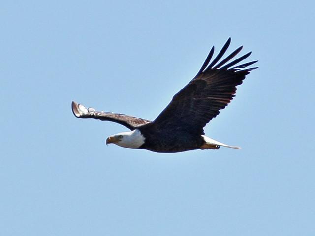 Bald Eagle male soaring 2-20150128