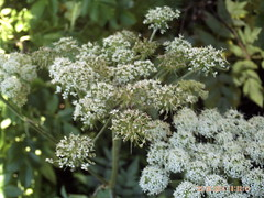 flower, cow parsley, cicely, plant, subshrub, anthriscus, flora, angelica, meadowsweet,