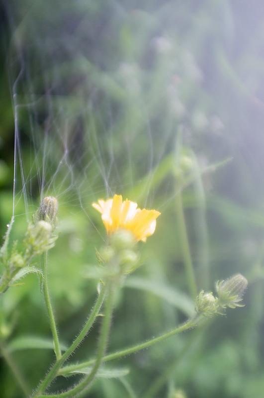 Telaraña en flor