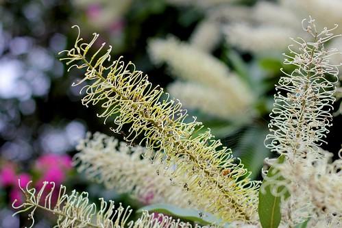 White Bottlebrush (Callistemon salignus)
