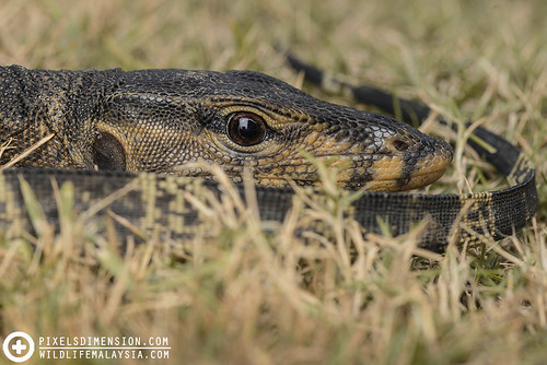 Water Monitor Lizard- Varanus salvator