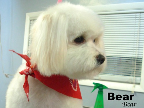 2010212 bear the bichon mix contemplating - Shelley the Groomer - Downers Grove - Shelley@groomingbyshelley.com