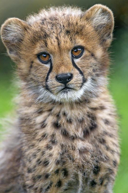 Portrait of an adorable cheetah cub