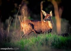 Deer watching the sunset