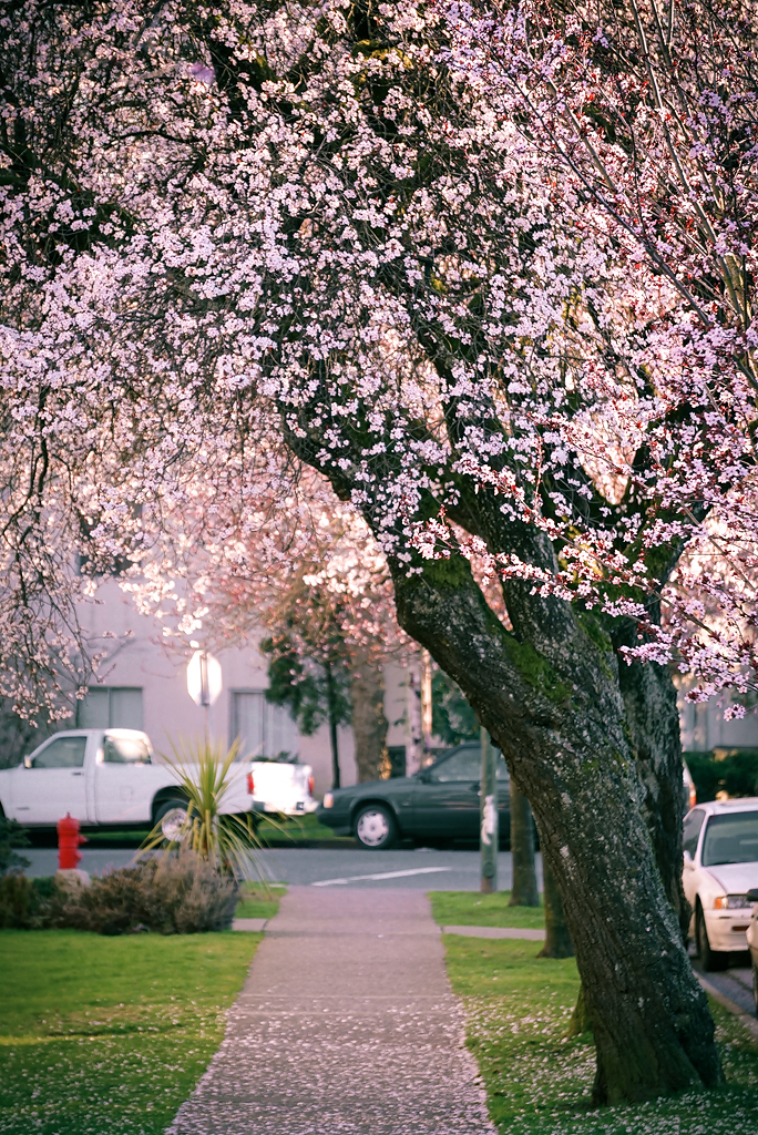 Early Cherry Blossoms Blooming in Vancouver BC Canada