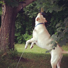 #TBT Zeus trying to get the birds to play with him... #throwbackthursday #dogstagram #birdfeeder #happydog #ilovemydogs #cancersucks #megaesophagus #bigdog