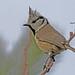Crested Tit (Parus cristatus) by victork2013