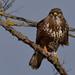 Common Buzzard (Buteo buteo) Egerészölyv