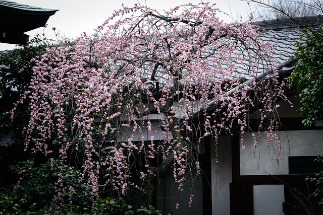 上野早春 - Shidare