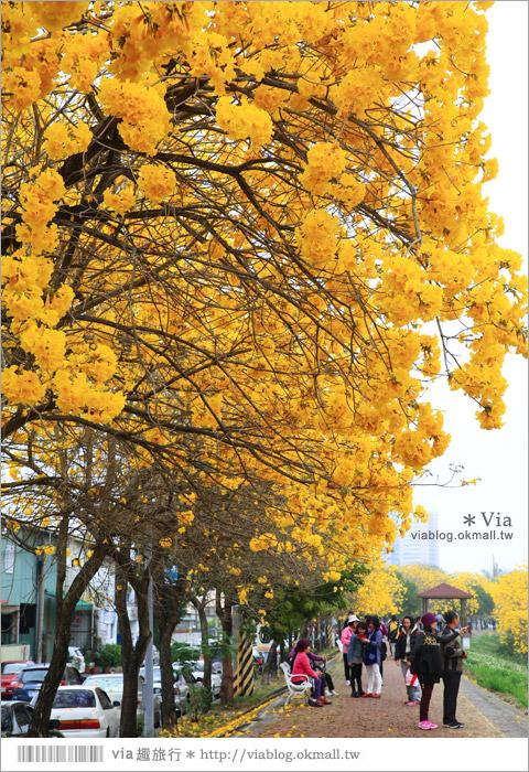 【嘉義景點】嘉義軍輝橋黃金風鈴木~全台最美的堤防!開滿滿的風鈴木美炸了!20