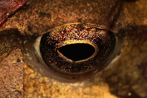 Toad's eye