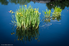 Irises and reflections