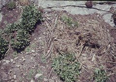 Vacated nest of only pair of Greater black-backed gulls on Flatholm in 1962 and 1963, in lavender, South side. June 1963