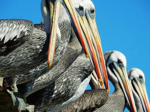 Pelicans - Chile