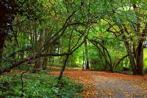 uk autumn trees leaves gate path hornbeam stanmore bentleypriorynaturereserve nikond7100 october2014 heriotwood