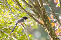 04中國藍鵲