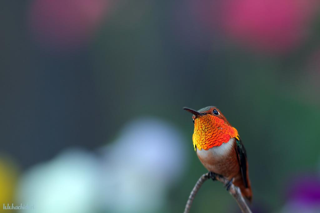 Allen's Hummingbird-112814