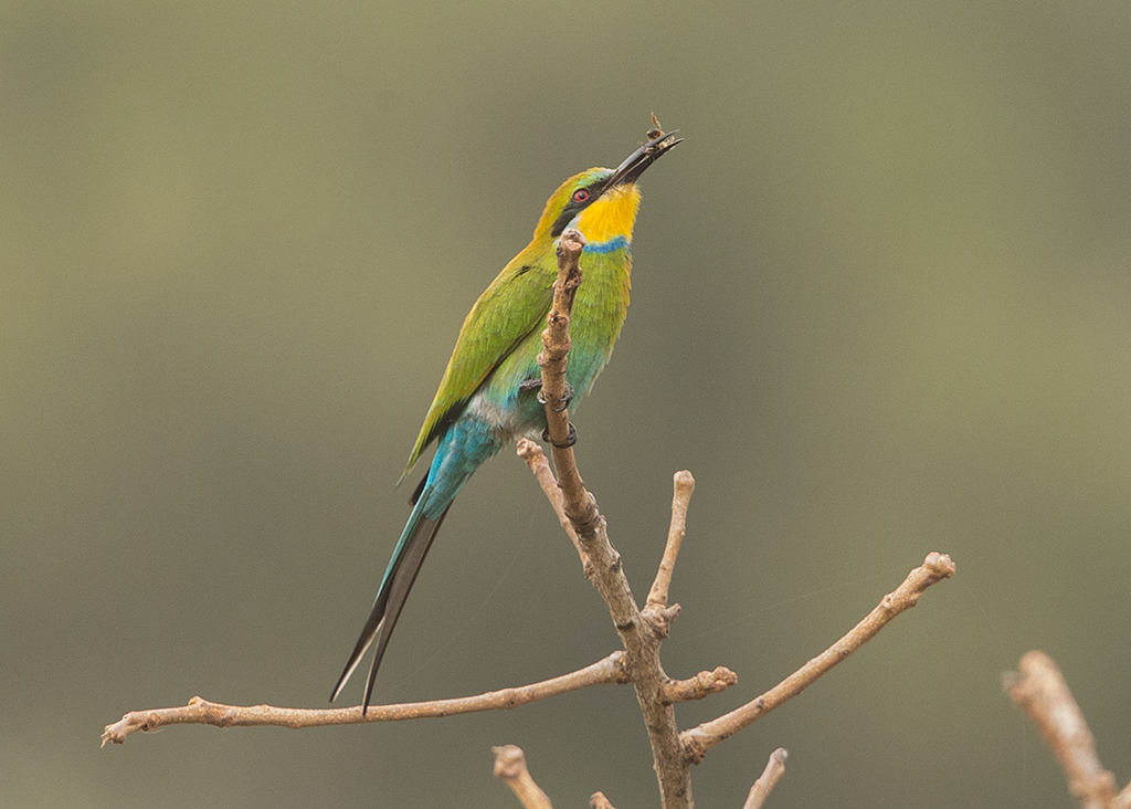 Swallow-tailed Bee-eater  Gambia