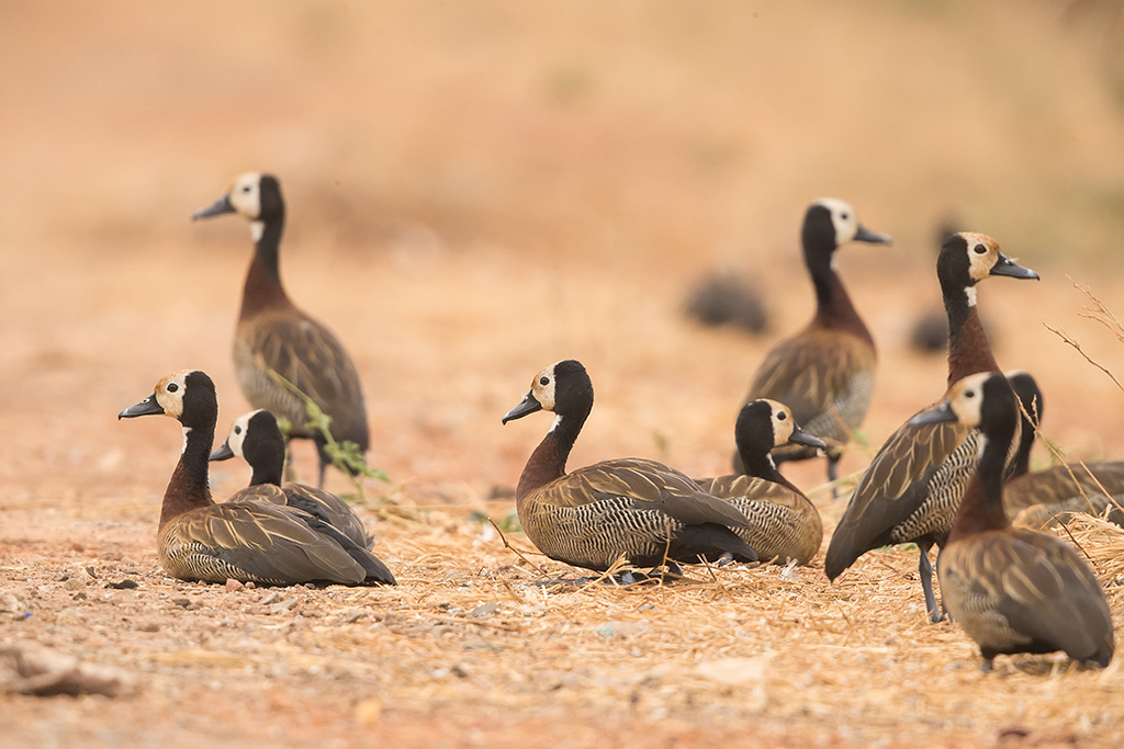 White-faced Whistling Duck Gambia