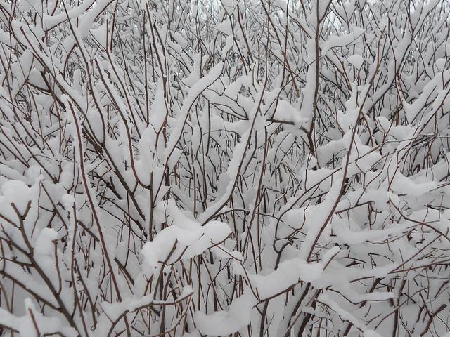 Luminen viitapihlaja-angervo (Sorbaria sorbifolia) Hämeenlinnassa 3.2.2015