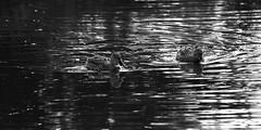 Family Duck