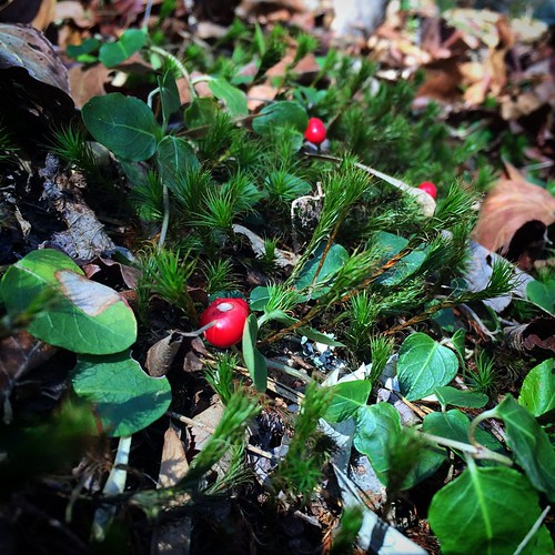 merriest happy holiday season wishes y'all!!! 💚❤️💚 well hello! #squawvine #partridgeberry #Mitchellarepens #Rubiaceae  and #haircap #moss #bryophyte #Polytrichumcommune #Polytrichaceae #nativeplant #nativespecies #wildalabama