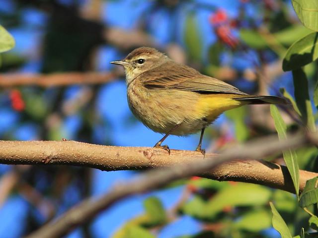 Palm Warbler 20141210