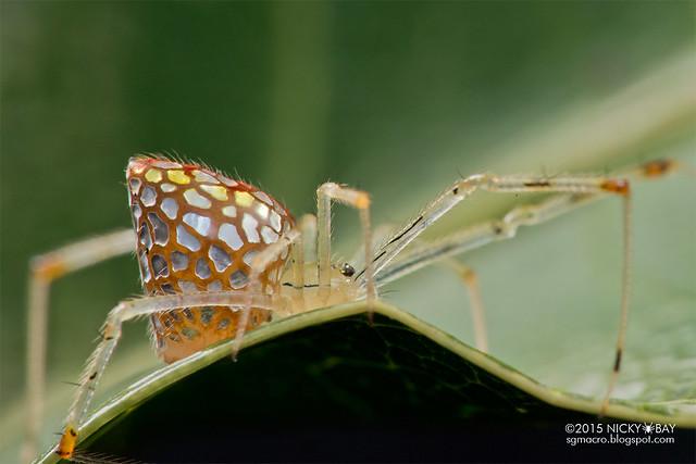 Mirror spider (Thwaitesia sp.) - DSC_7349