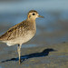 Cameron Eckert has added a photo to the pool:Short primary extension. long legs and bill, an isolated ear spot, and over all bright plumage -- all characteristic of juvenile Pacific Golden-Plover; a rare spring migrant in southern Yukon, and even rarer in fall. This one arrived in Whitehorse on 22 October 2014.