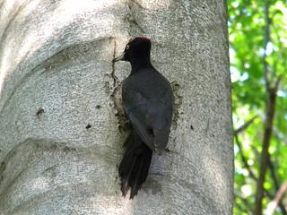 Picchio nero / Black woodpecker (Dryocopus martius)