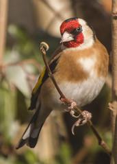 Goldfinch ( Carduelis carduelislis )