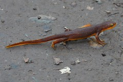 smooth newt, animal, amphibian, newt, fauna, wildlife,